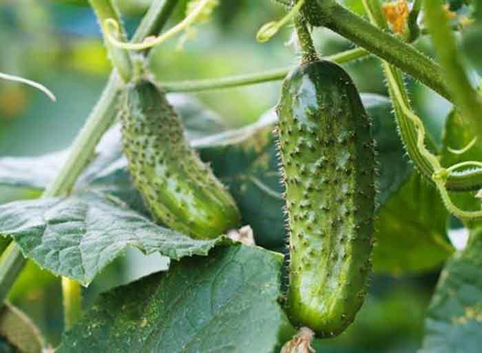 Как правильно выращивать огурцы на балконе