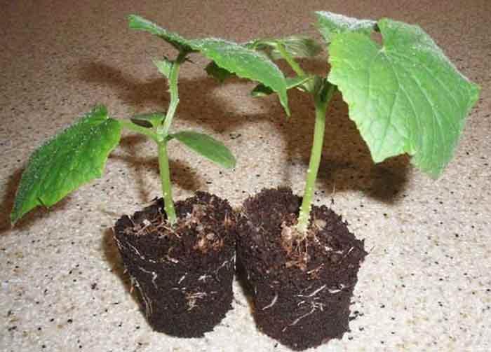 Как правильно выращивать огурцы на балконе4